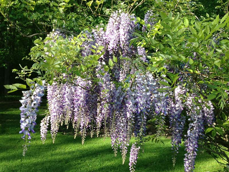 Photograph of local wisteria